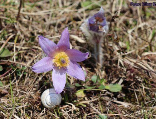 Varstvo zavarovanih in ogroženih rastlin ter primer prakse, ki se izvaja pri velikonočnici