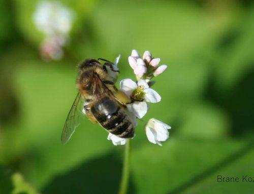 Dan z alpskim čebelarjem
